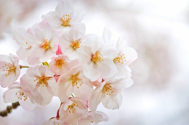 春天的櫻花,成為保養品的核心。圖/摘自pakutaso