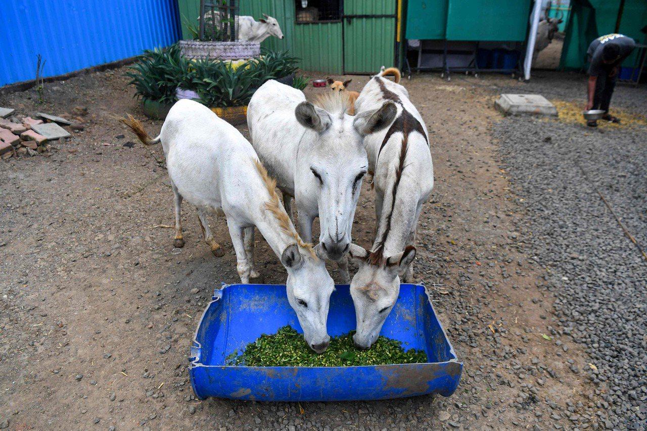 母驢愛蜜莉(圖中)吃飯時間到就嚎叫著奔放旋律,在網路竄紅。 法新社