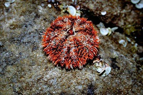 海鮮文化與海洋文化難兩全?談澎湖海膽過度捕撈