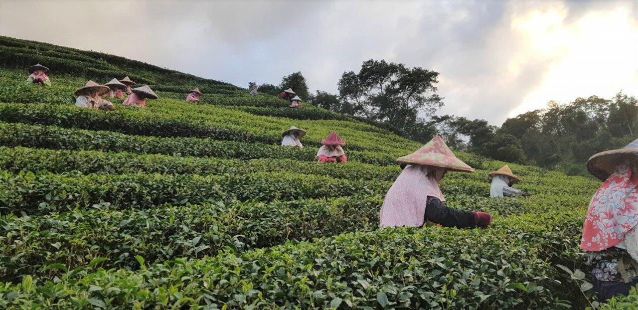 清境茶園是坪林在地的老茶廠,曾在106年「新北市優質美人茶比賽」獲得茶王殊榮,今...