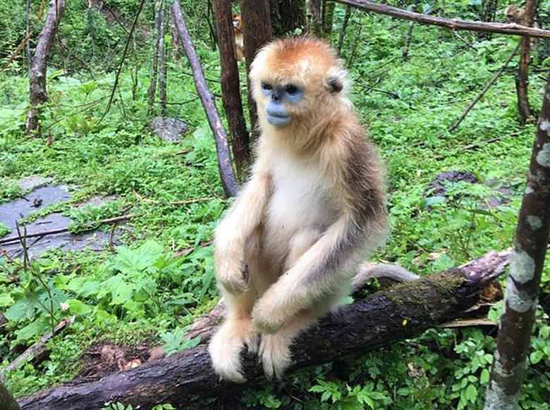金絲猴保育有成。聯合報系資料照/記者王玉燕攝影