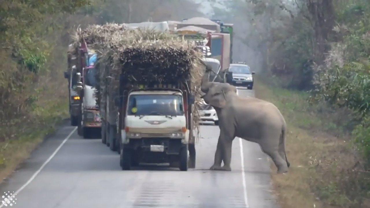 泰國南部北柳府(Chachoengsao)的野生動物保育區,今年1月有一隻大象熟...