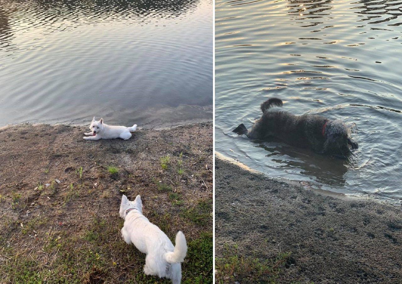 日前美國2名女子,帶愛犬去住家附近的池塘玩水,不料狗狗竟被池塘中的藍綠藻毒死。圖...