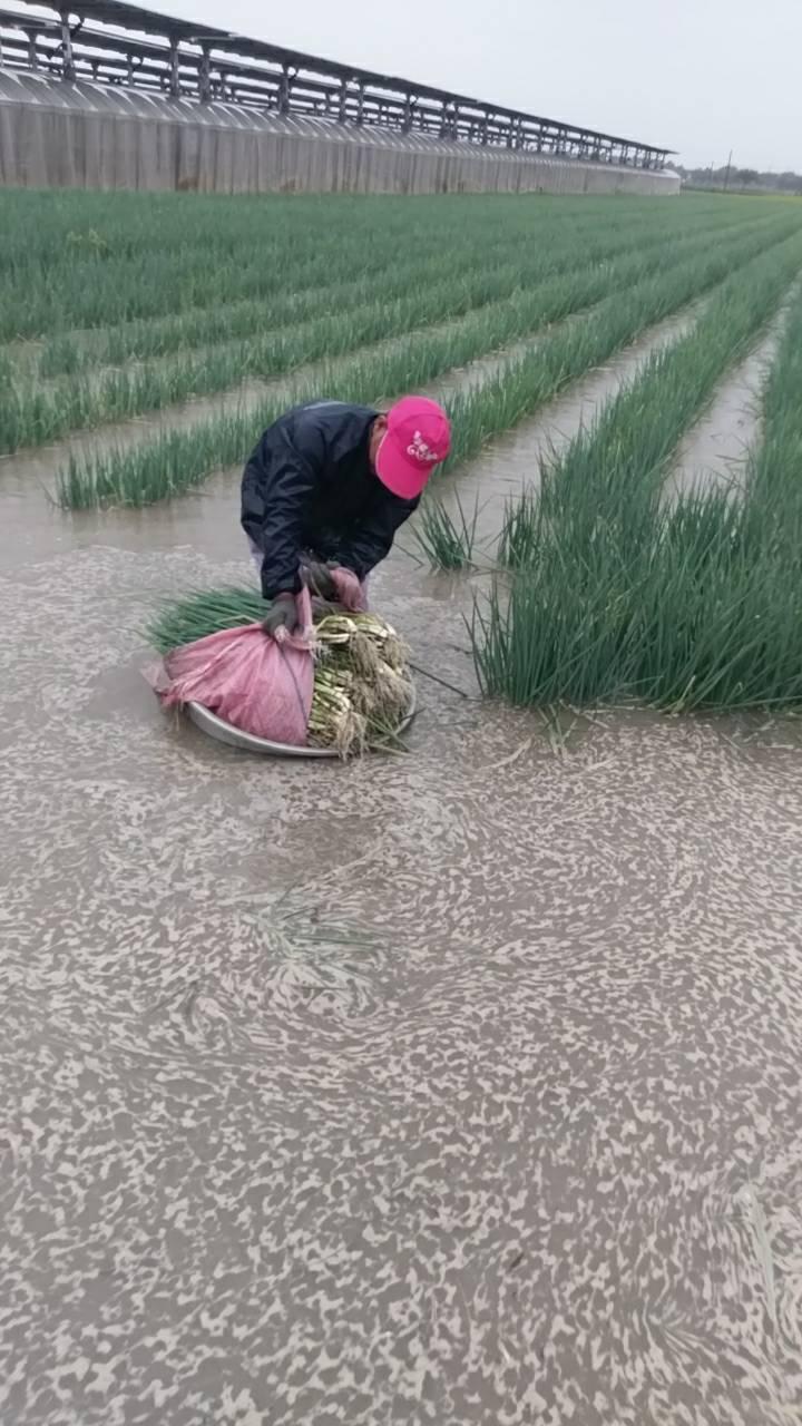 中南部夜裡降下大雨,不少農田都泡在水裡,圖為雲林土庫的農民一夜未眠搶採收。圖/農...