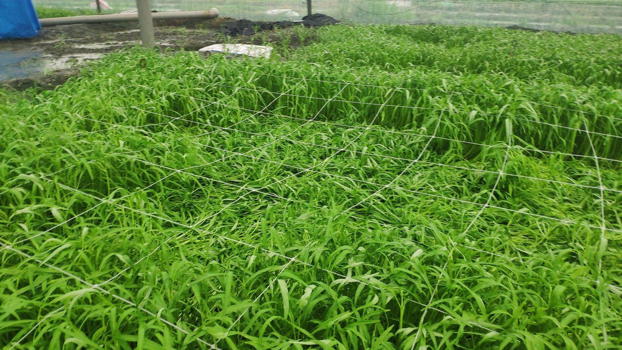 西螺鎮、二崙鄉等鄉鎮蔬菜農作嚴重倒伏,農民難以採收只能認賠。記者李京昇/攝影