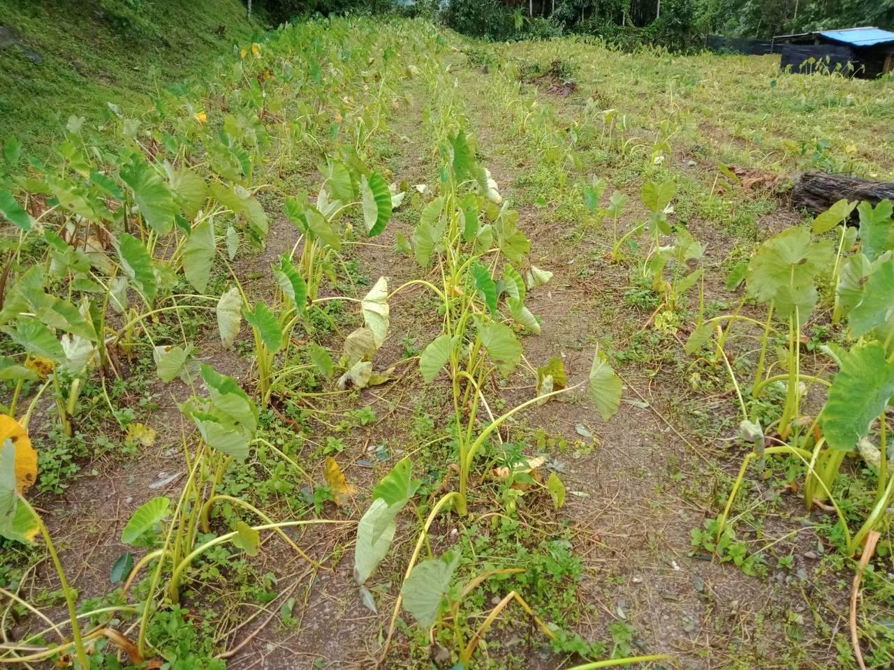 高雄市農業局到目前為止,目前主要受害農作物為芋。圖/高雄市農業局提供