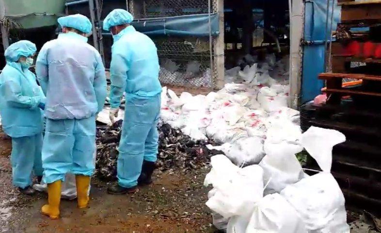 彰化縣一家土雞場感染禽流感,防疫人員進場撲殺土雞後裝袋清運。圖/彰化縣動防所提供