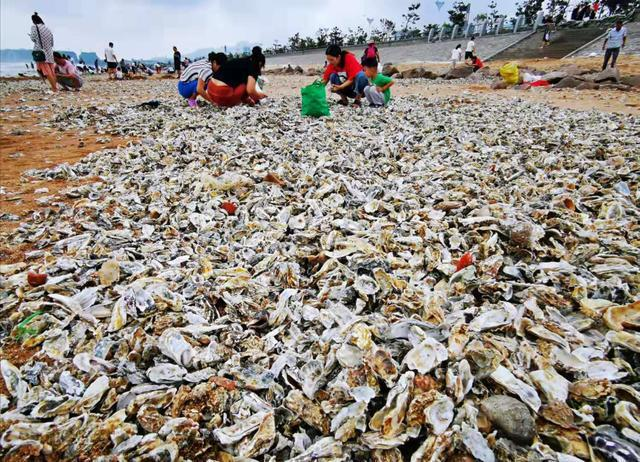颱風過後,青島海灘出現綿延數公里的牡蠣。圖擷自青島早報