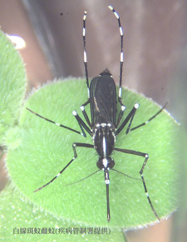 白線斑蚊是傳播登革熱的病媒蚊,請民眾加強防蚊措施並清除孳生源。圖/疾管署提供