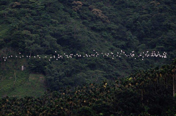 群鷺朝鳳。圖/綠生活協會提供