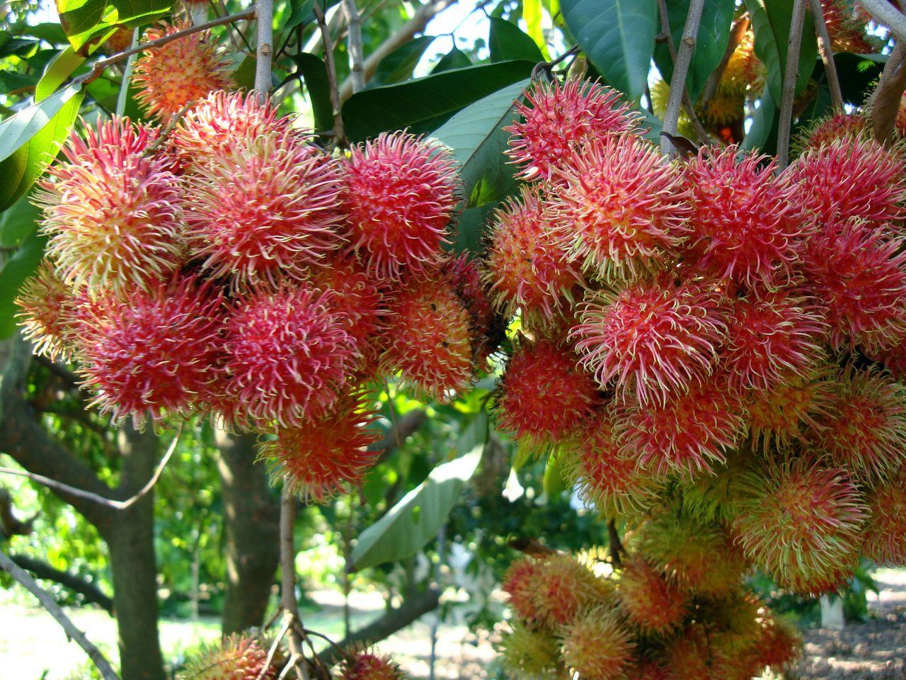 全球氣候急劇變遷,台灣的「作物相」也在改變中,東南亞常見的紅毛丹,在台灣也可以種...