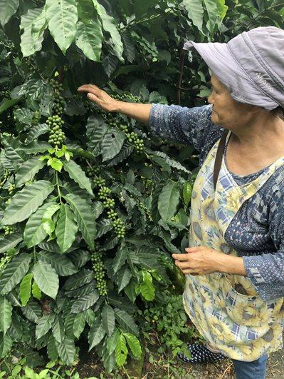 摩天嶺果農陳梅欗在甜柿園改種咖啡樹,這兩年氣候越來越熱,咖啡豆也長得好。記者陳秋...