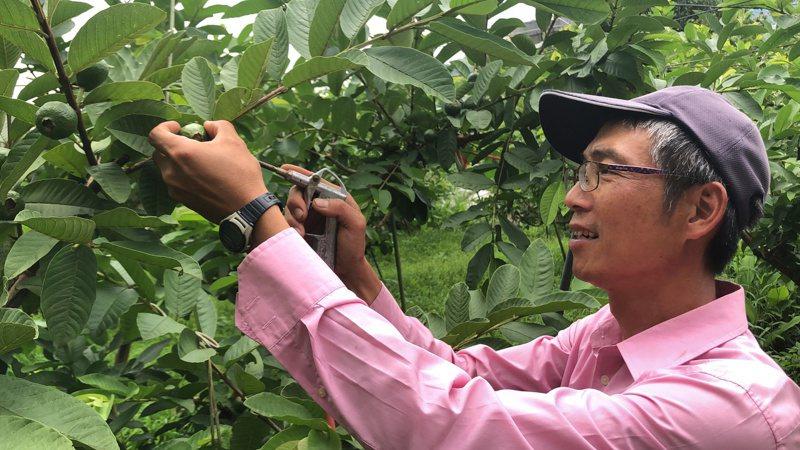 摩天嶺果農黃昭智砍掉一半甜柿改種芭樂,天氣熱蟲害多,他用噴槍在芭樂蒂頭除蟲。記者陳秋雲/攝影