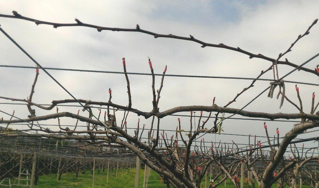 苗栗縣高接梨穗,受1、2月暖冬,稼接失敗,以往一株高接梨穗可結果3到4顆,今年花...