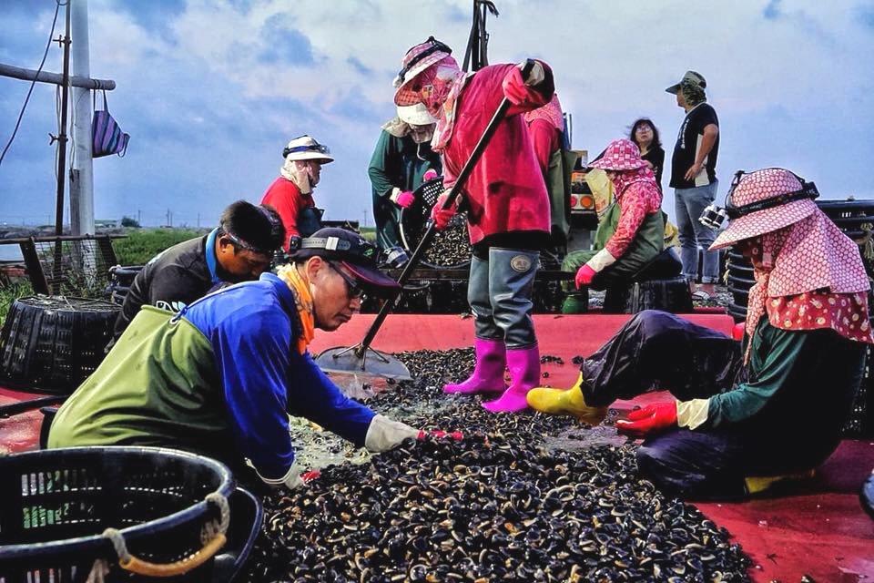 台南七股文蛤今年銳產,部分養殖區收成只剩二成,是10年以來最慘的一年。圖/陳俊旭...