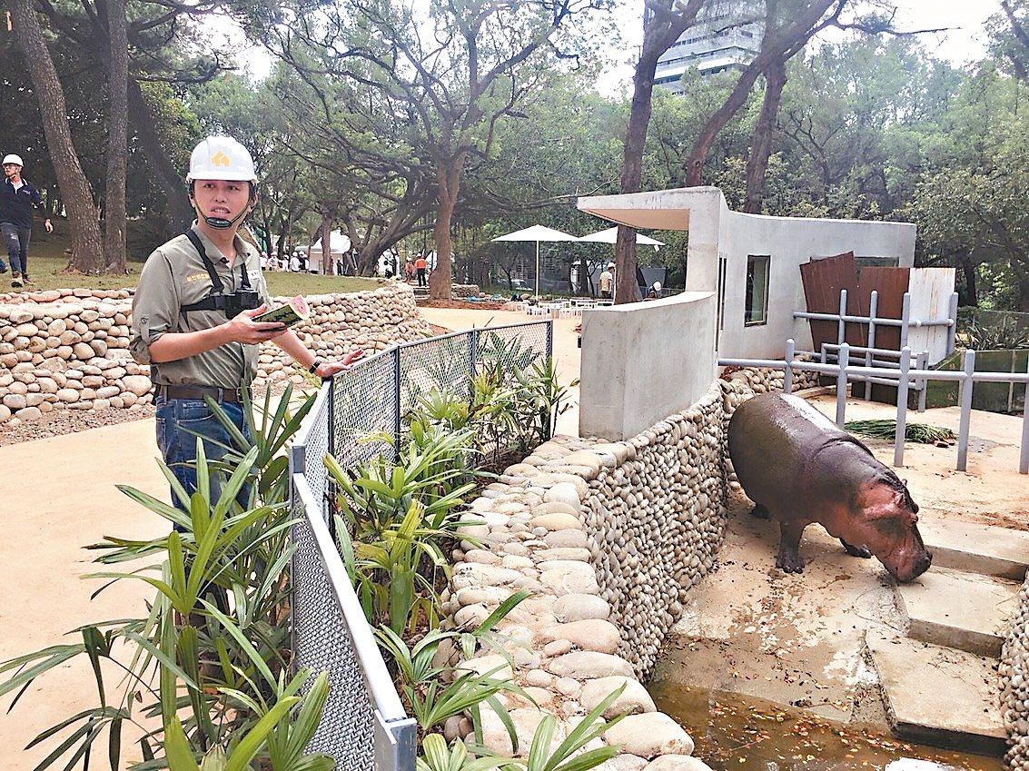 新竹市長林智堅化身1日飼育員,搶先探訪河馬樂樂新家,並帶西瓜為樂樂消暑。 圖/新...