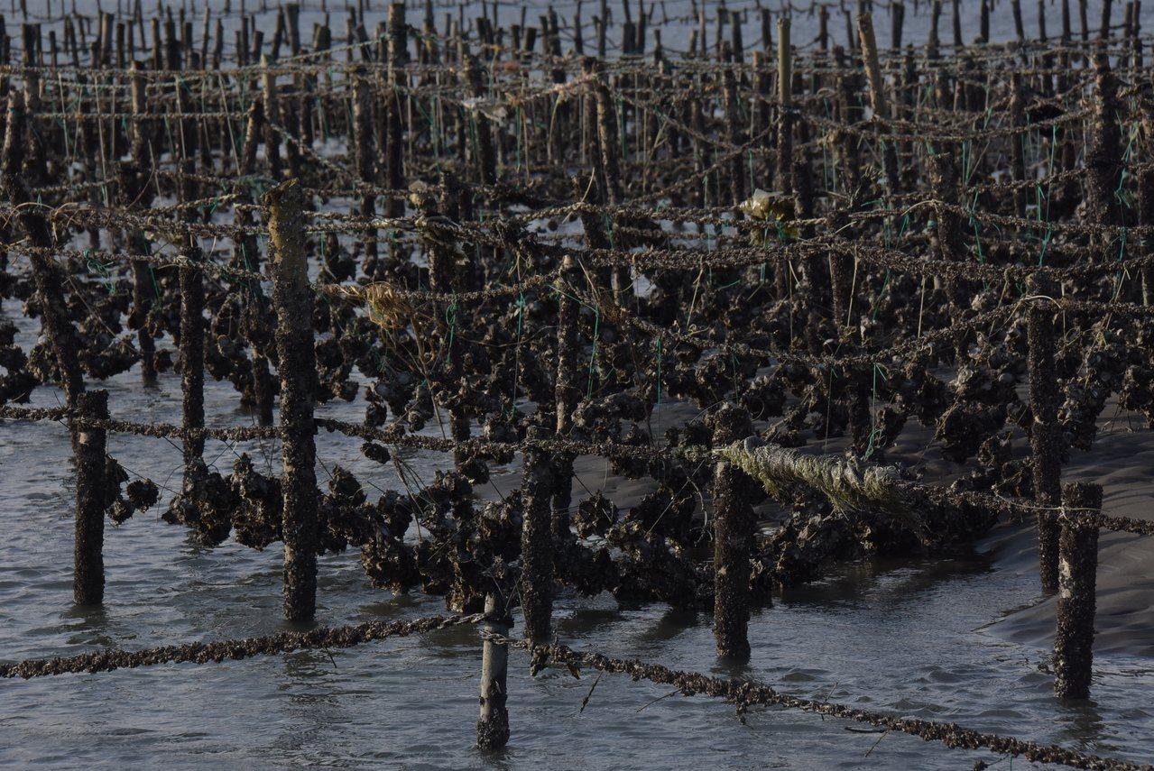 氣候異常,西海岸文蛤大量死亡,台南牡蠣存活率不到二成。 圖/彰化縣政府提供
