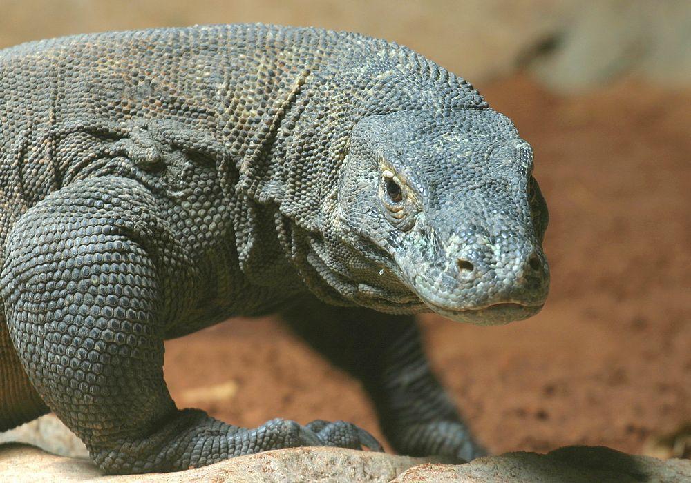 科摩多龍是全世界最大蜥蜴,僅分布在印尼4座島嶼,全世界僅剩3千隻。(路透)
