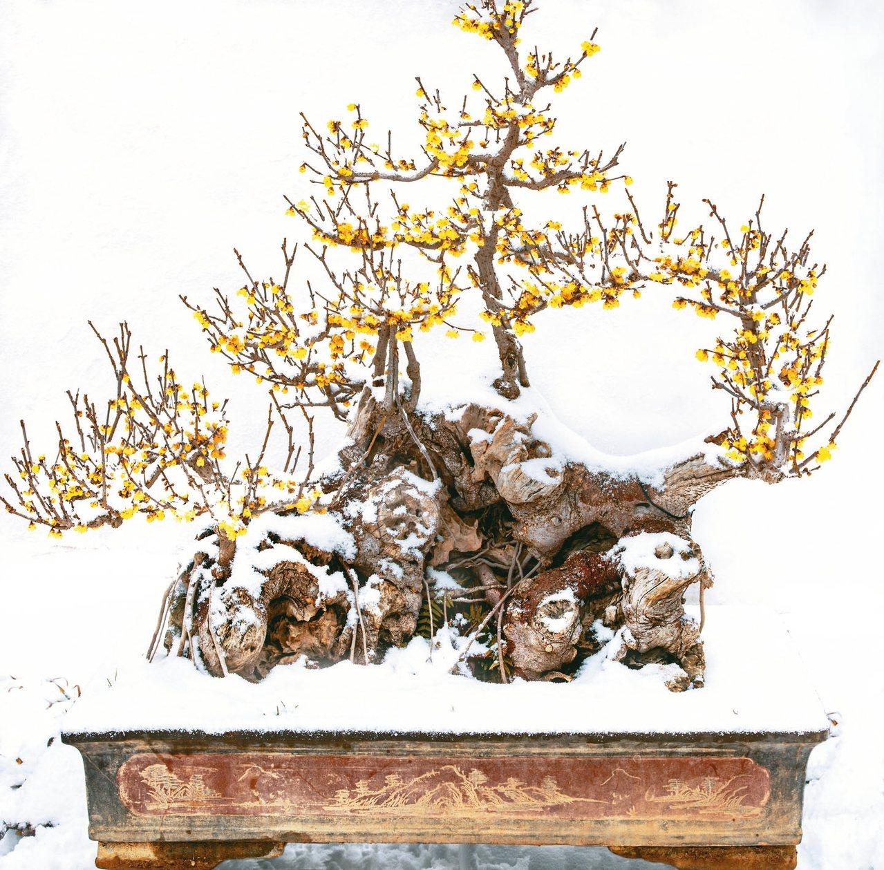 鄢陵古樁蠟梅盆景,笑傲霜雪。 圖/本報許昌傳真