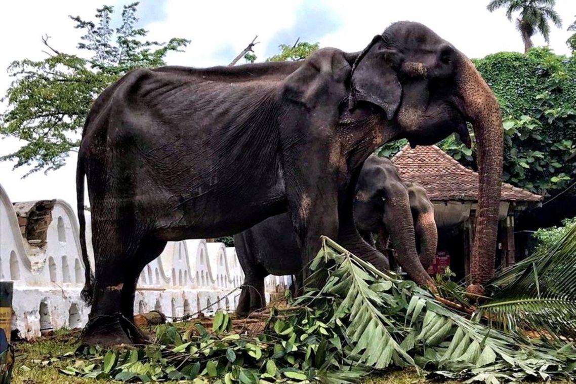這頭骨瘦如柴的大象叫做Tikiri,是參與斯里蘭卡「康提佛牙節」(Kandy E...
