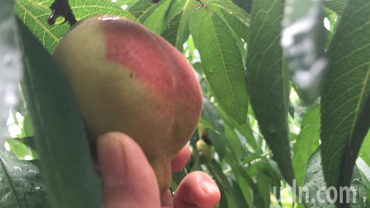 鶯歌六月慢桃是記憶中的古早味,物以稀為貴,今年果菜市場拍賣價創記錄。記者陳秋雲/...