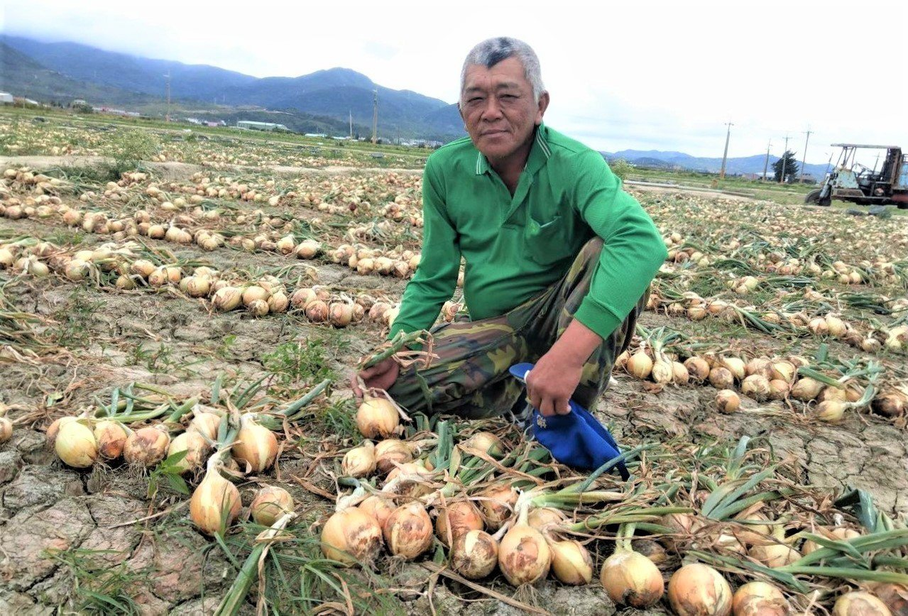 屏東恆春半島今年因暖冬洋蔥普遍歉收,恆春洋蔥農王承志種的洋蔥不僅大球比例多出別人...