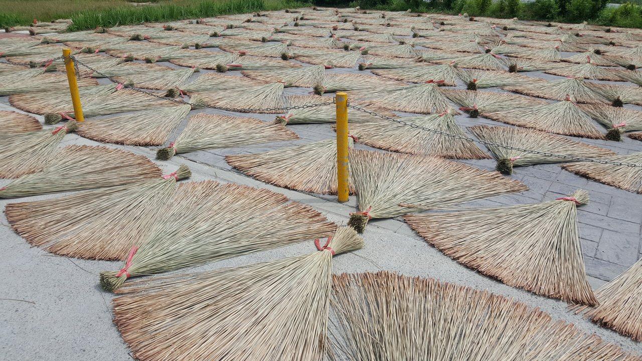 苗栗縣苑裡鎮被譽為藺草編織的原鄉,日曬中的三角藺草形成迷人的構圖。記者胡蓬生/攝...