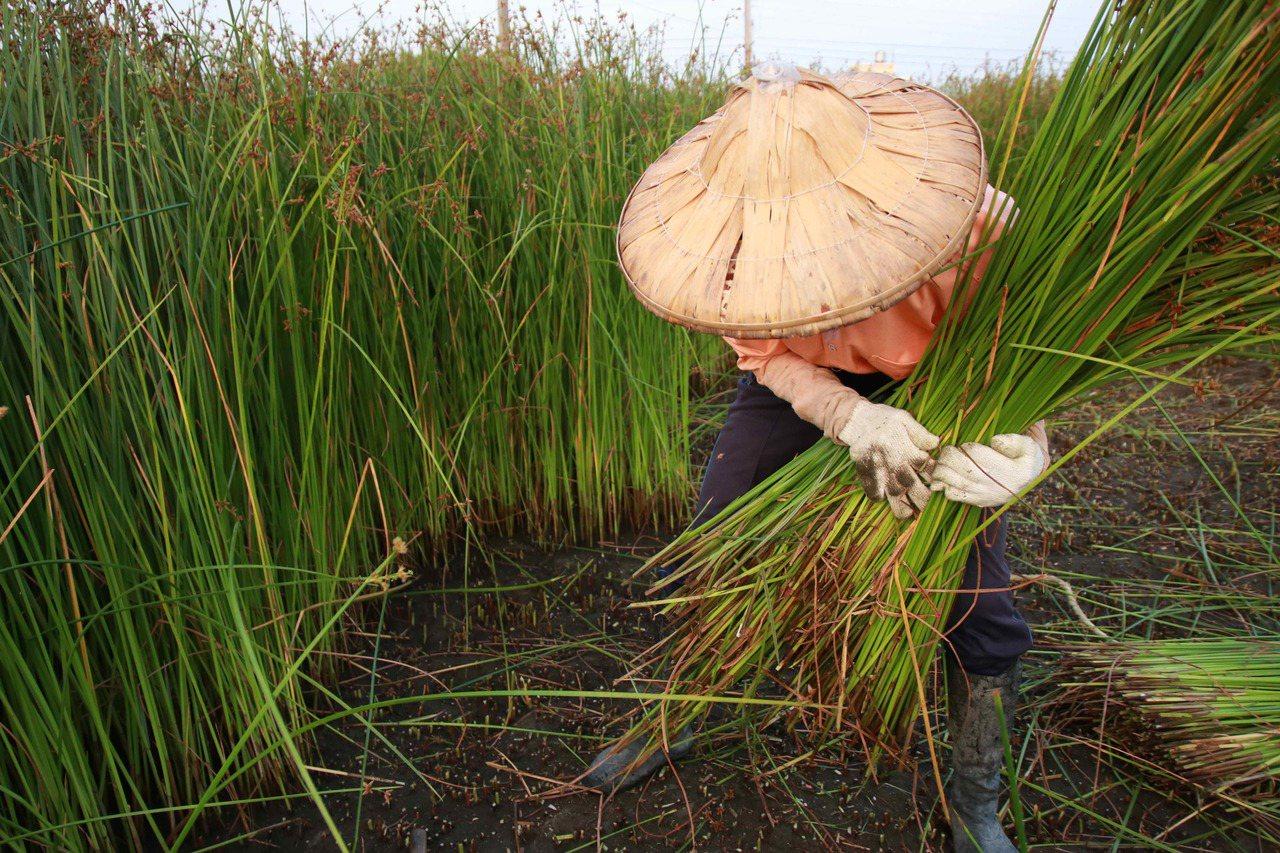 藺草種植到可以提供編織需要約90到100天。圖/藺子提供