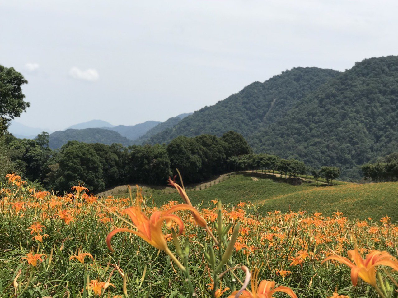 花蓮赤科山的金針花,以往到8月中旬就會出現滿開盛況,但今年至今僅開5成,預計20...