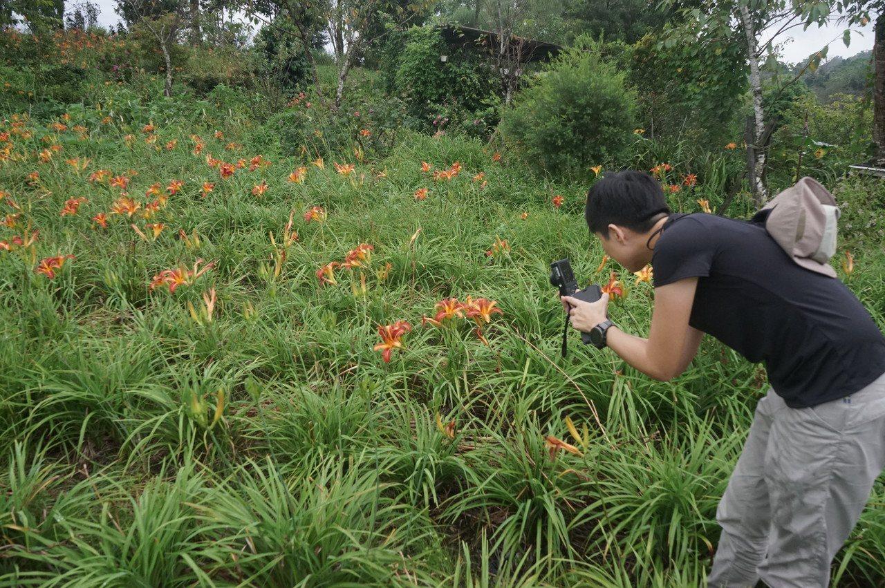 花蓮赤科山目前金針花開約5成,在地農民培育新品種,讓赤科山的金針花田更豐富,吸引...
