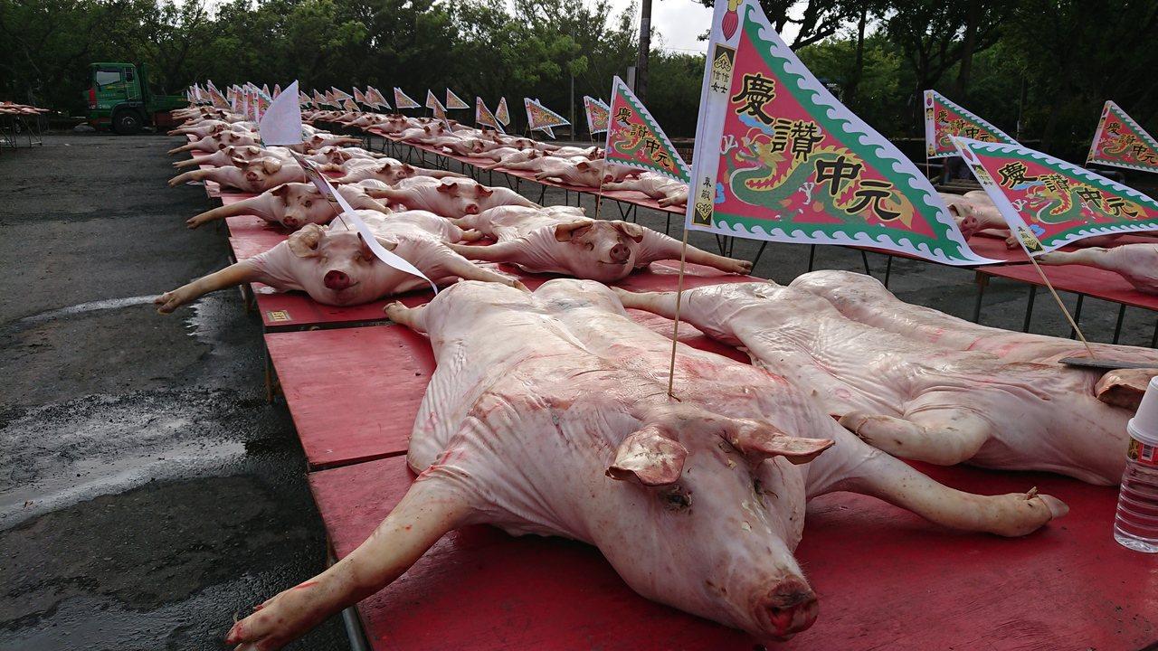 東石港口宮今天中元普度,信眾租了百餘頭豬祭拜。記者卜敏正/攝影