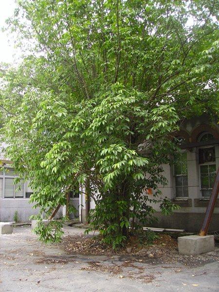 過去樂生院內曾種植許多株大風子樹,雖未能成功榨油,仍是漢生病醫療史的重要見證。捷運機廠工程拆遷後,院內僅餘此一棵。  圖/黃淥提供