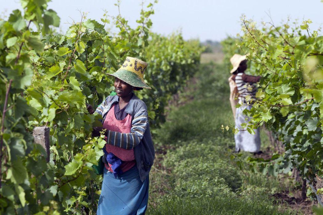 對仰賴農業的衣索比亞來說,恢復林地也是永續發展重要的一步。 圖/法新社