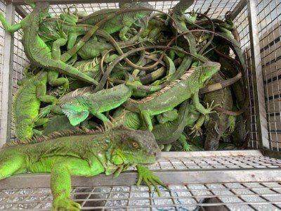 綠鬣蜥。圖/林務局提供