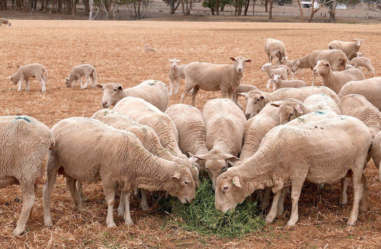 澳洲羊毛業受到美中貿易及乾旱衝擊,羊毛產量創歷史新低。路透