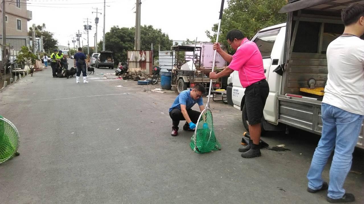 彰化縣動物防疫所、和美鎮公所和警方今天攜手圍捕16隻在巷道遊蕩的狗群。照片/動防...