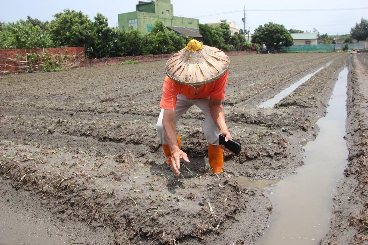 伸港鄉洋蔥產銷班班長蘇明珍說,昨晚暴雨下了二小時,但他開了二部抽水機一直抽到天亮...