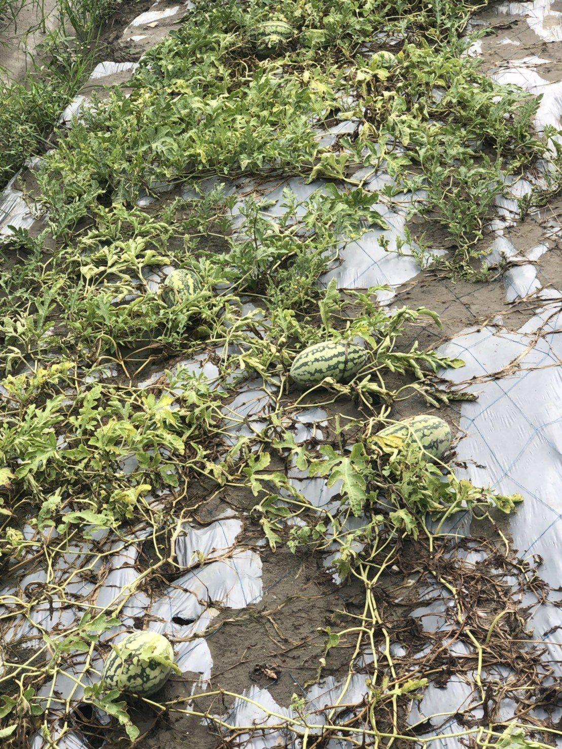 一夜大雨,和美鎮農民種的西瓜泡在水中。圖/賴清美提供