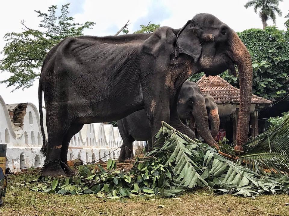 斯里蘭卡一頭高齡70歲母象脫下華麗袍子後,骨瘦如柴的樣貌。 圖/Save Ele...