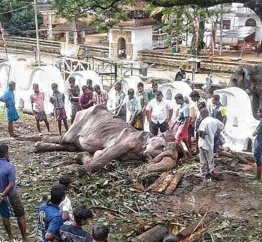 據「拯救大象基金會」15日在臉書最新貼文顯示,骨瘦如柴的母象Tikiiri已不支...