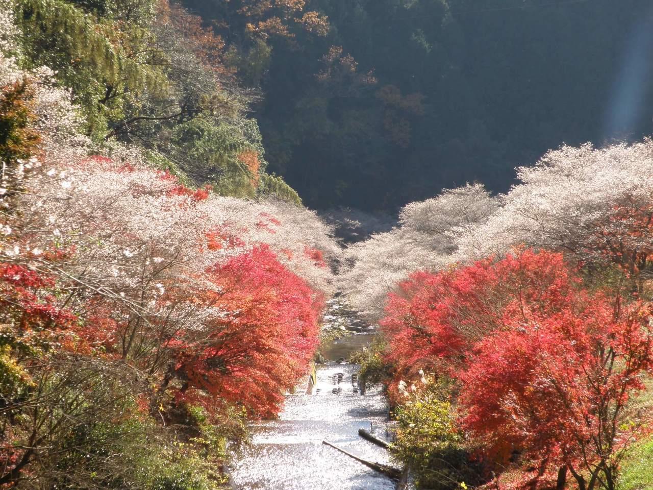 「小原四季公園」特別栽種有四季櫻,是日本唯一一個可以同時賞紅葉與櫻花的地方。圖/...