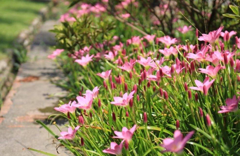 韭蘭花一般為粉紅色,花朵比蔥蘭大一點,花瓣約6至9片。圖/北市工務局提供