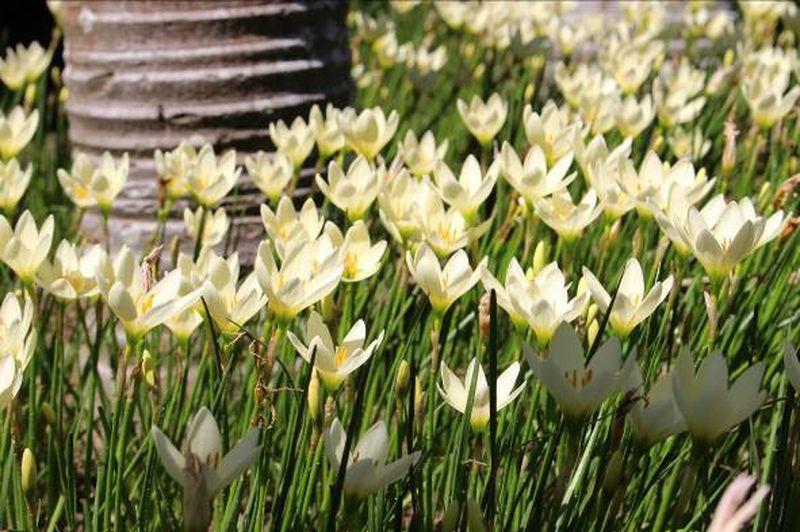 蔥蘭花一般為白色,花瓣約六片。圖/北市工務局提供