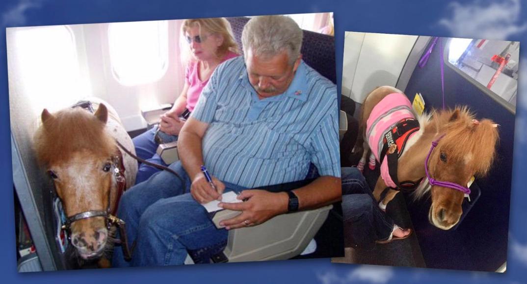 美國運輸部上周公布最新指引,准許身障者能攜帶迷你馬登機。圖/截自Airport ...