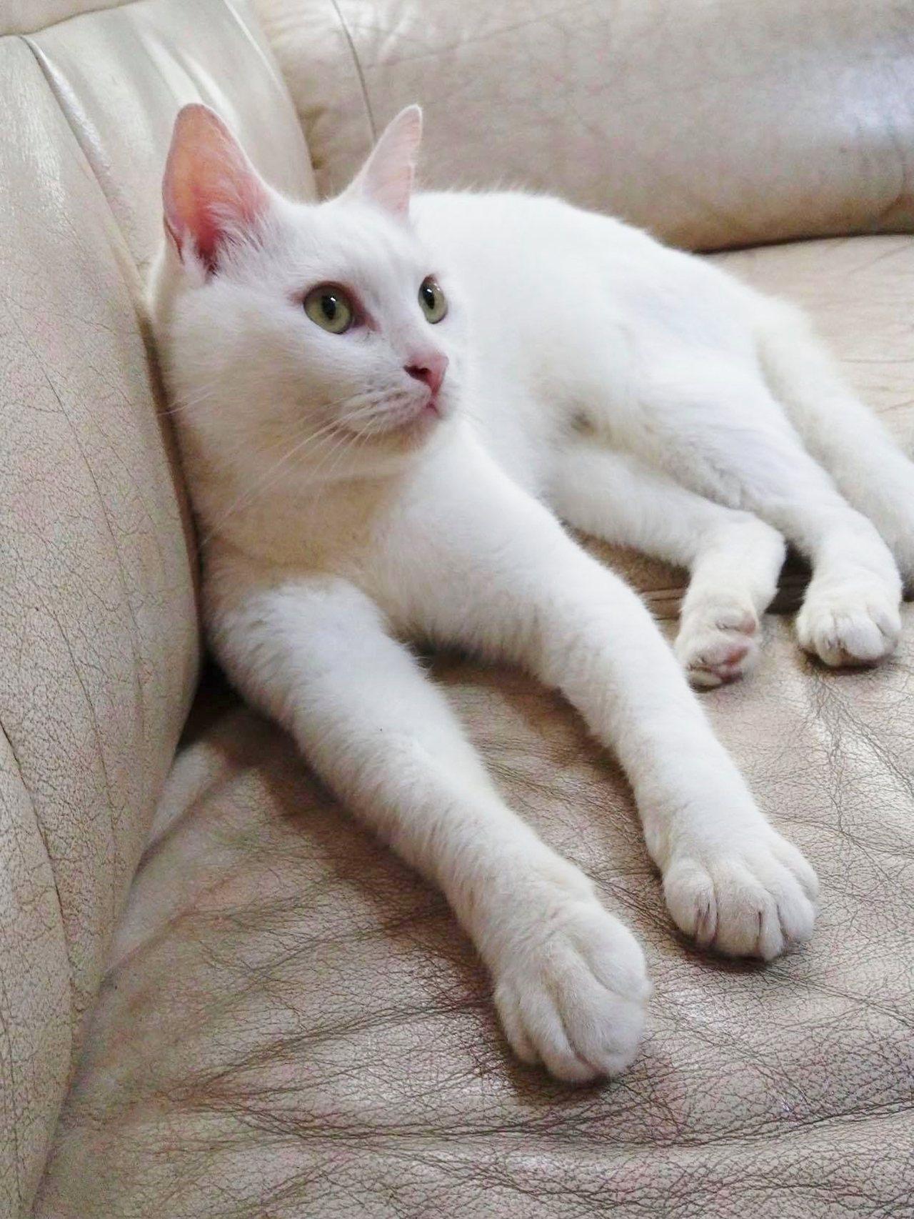 一條小鎖鏈蛇闖入台東市區一民宅,疑遭貓星人「牛奶」活活打死。圖/顏姓讀者提供