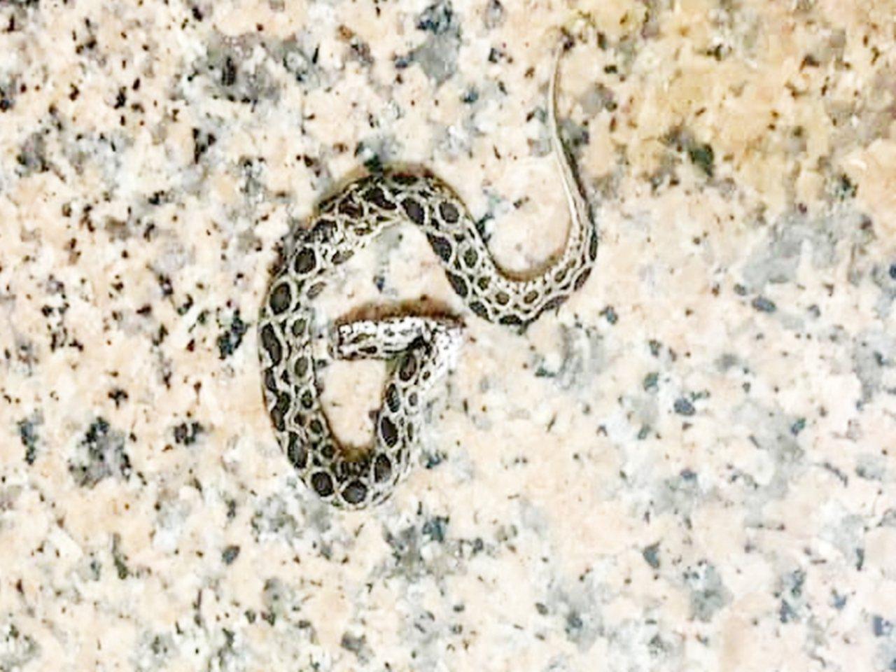 這條小鎖鏈蛇闖入台東市區一民宅,疑遭貓星人「牛奶」活活打死。圖/顏姓讀者提供