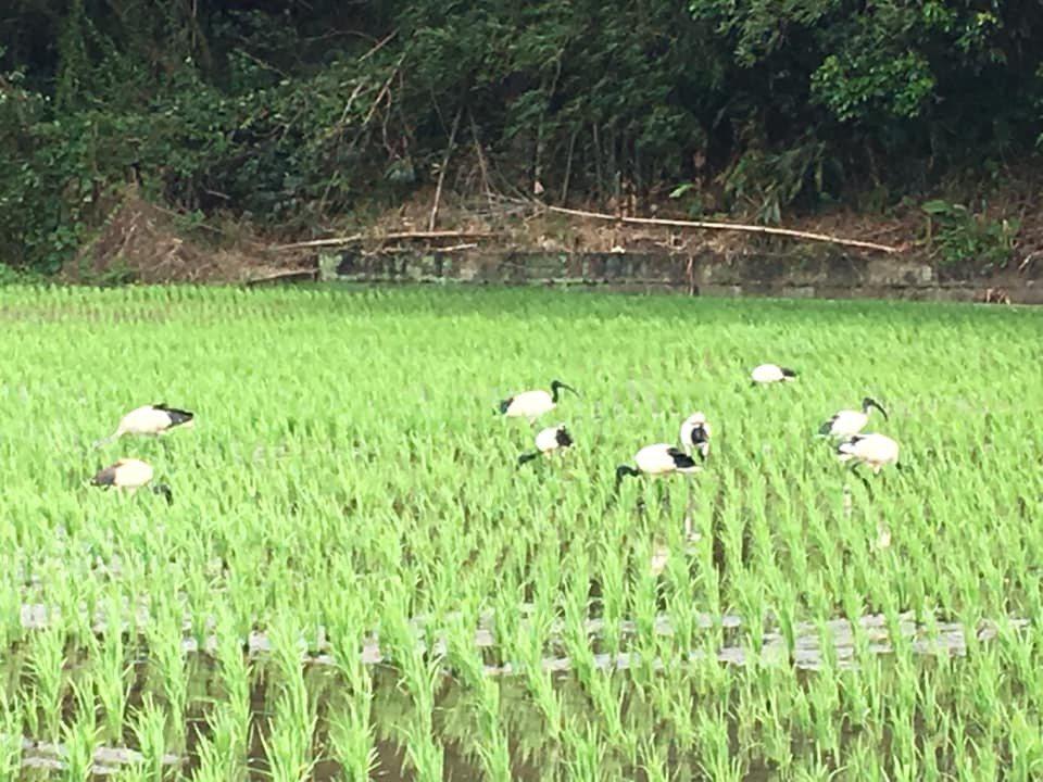 苗栗市近效剛插秧的稻田埃及聖䴉成群結隊覓食,美景背後有生態警訊。圖/徐桂媚提供