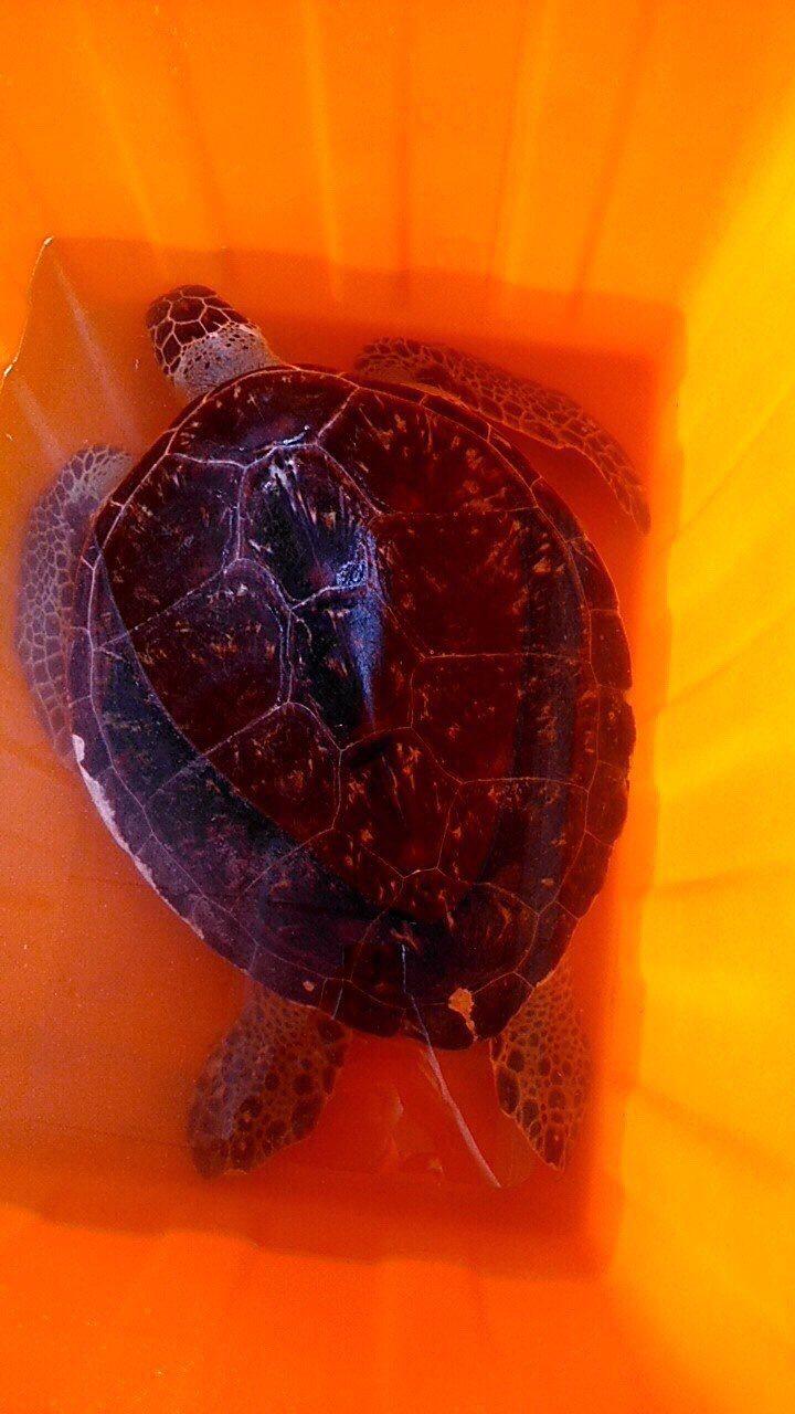這隻擱在高雄市興達發電廠海域擱淺綠蠵龜,今天已被轉往屏東海洋生物博物館進行後續觀...