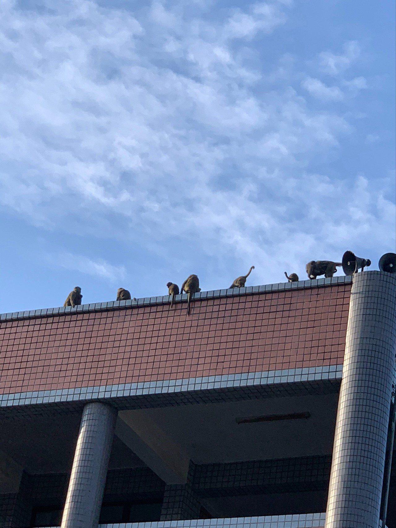淵明國中校長丁清峯曾目睹猴群準備要偷吃學生的營養午餐,暑期輔導下課時,竟有20多...