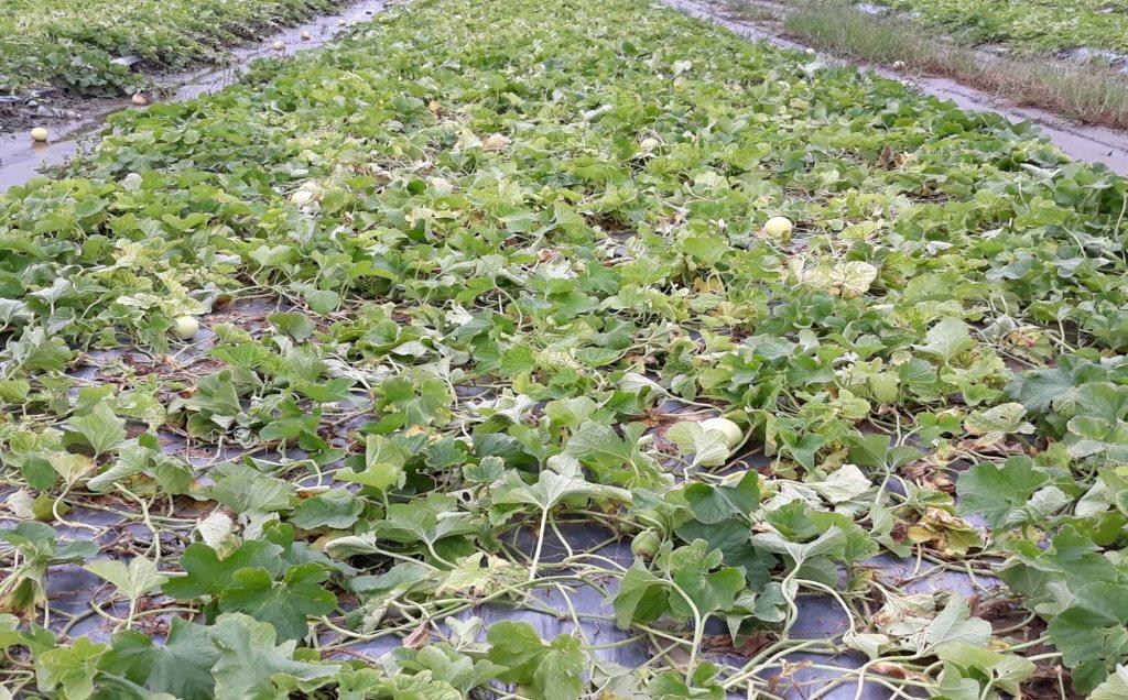 高雄市損失2200萬元最嚴重,占全台農損七成。 圖/高雄市農業局提供